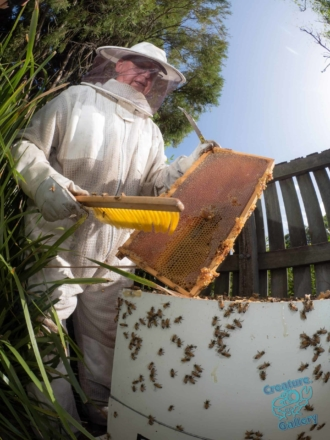 Extracting the plates of honeycomb from a honeybee hive