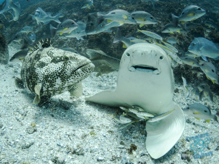 Leopard Shark fighting a Cod