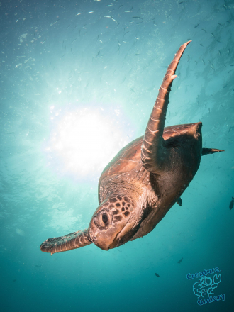 Green Turtle descending from the heavens