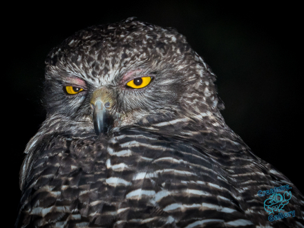 Powerful Owl looks angrily at camera