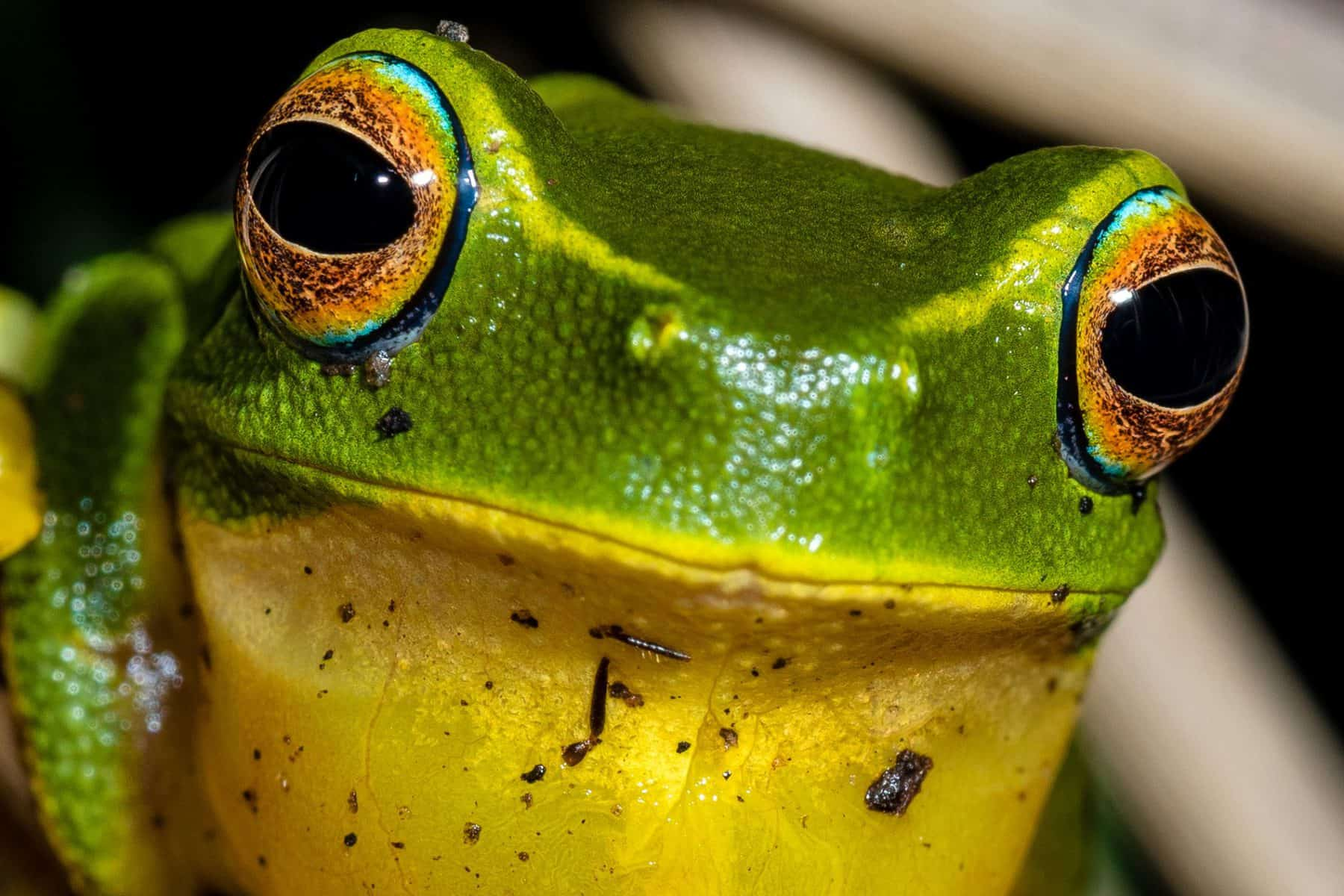 feature image - green banana frog