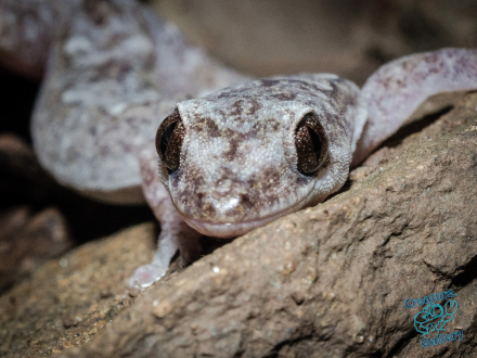 Native gecko in forest