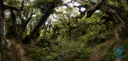 Antarctic beech forest