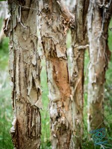 Paperbark trees next to the beach at Wooli, New South Wales