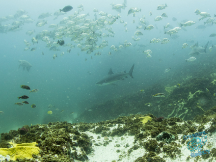 Bull sharks at Julian Rocks, hunting a loggerhead turtle
