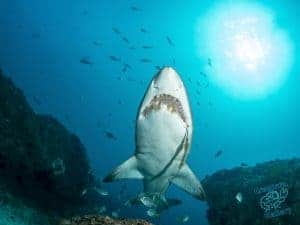 Grey Nurse Shark at Byron Bay with fish hook and metal tracer wire