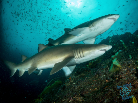 Pair of Grey Nurse Sharks at Byron Bay