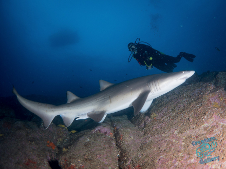 Grey Nurse Shark and diver at Byron Bay