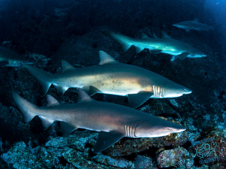 Grey Nurse Sharks at South West Rocks