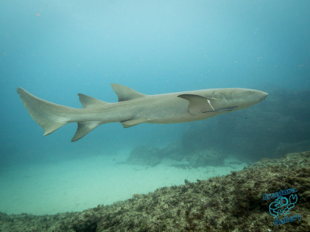 Nurse Shark at Stradbroke Island