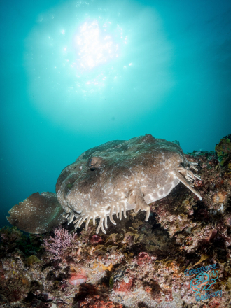 Wobbegong at Julian Rocks, Byron Bay