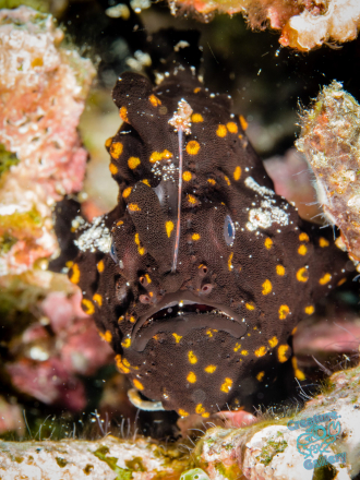 Black and yellow frog fish