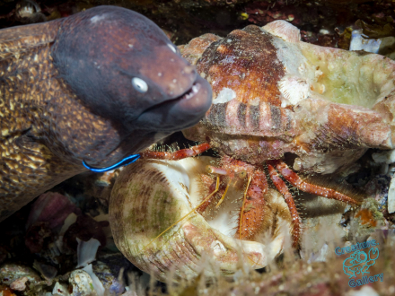 Hermit crab moving shell while eel is prepared to pounce