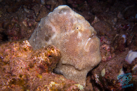 Frog Fish waiting for dinner