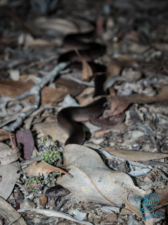 Small eyed black snake, Mount Cootha