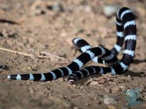 Bandy Bandy Snake with raised body