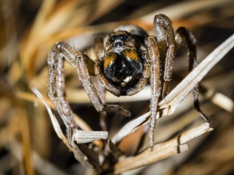 Wolf spider eating an innocent victim