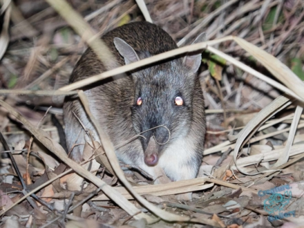 Bandicoot on Mount Cootha