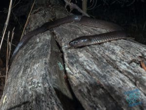 Small Eyed Snake on a log in the forest