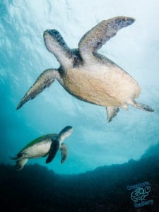Dancing turtles in the shallows at Julian Rocks