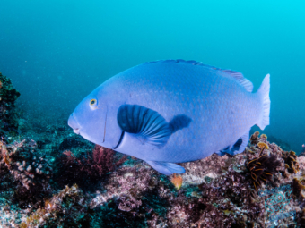 Blue Groper at Julian Rocks
