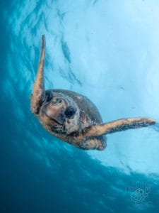 Green turtle descends from the surface at Julian Rocks