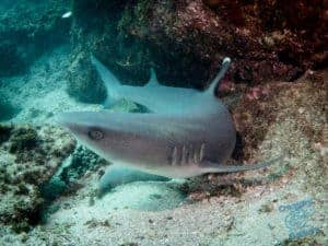 The Byron Reef shark hides at this spot in the sand. It's not bothered by divers.