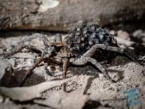 Wolf Spider mother with babies