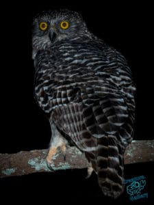 Powerful Owl on Mount Cootha