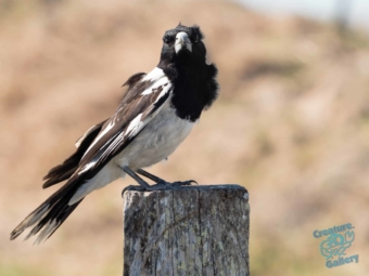Magpie on a fence post