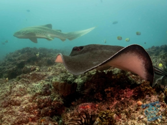 The bull ray and leopard shark go for the finish line in the race