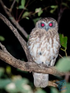 Barking Owl on Mount Cootha