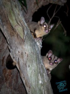 Sugar gliders on tree branch