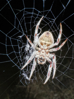 Spider releasing web from its spinnerets