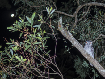 Tawny frogmouth on tree on Mt Cootha in front of full moon