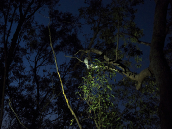 Tawny frogmouth on tree on Mt Cootha