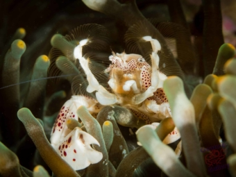 Porcelain crab with gills open