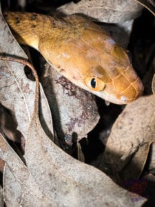 Brown Tree Snake from Mt Cootha
