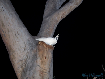 Cockatoo in tree at night