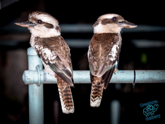 Two kookaburras on a park bench