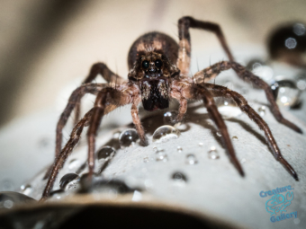 Wolf spider on white flower with raindrops