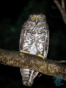 The Powerful Owl - eyeing off a 12 week old human...