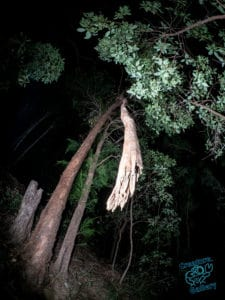Tree trunk hanging over Mount Cootha pathway