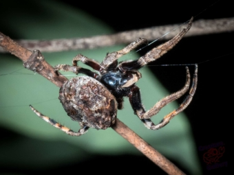 This is the Orb spider crossing its web