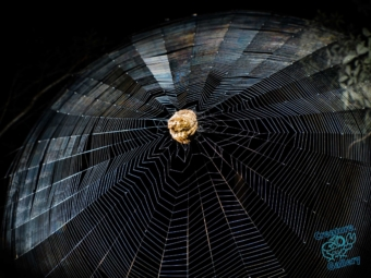 Garden Orb spider curled into ball on web