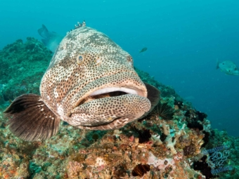 Big Potato Cod at the wide trenches off Julian Rocks, Byron Bay