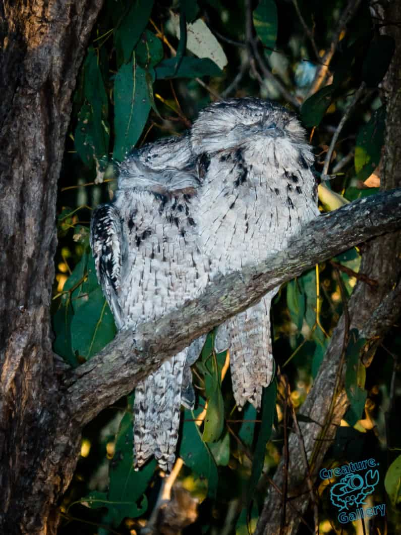 Pair of tawny frogmouth nightjars asleep on a branch in the afternoon sun