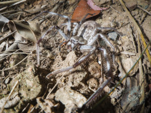 mount_cootha_spiders