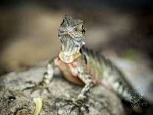 Lizard looks at the camera lens